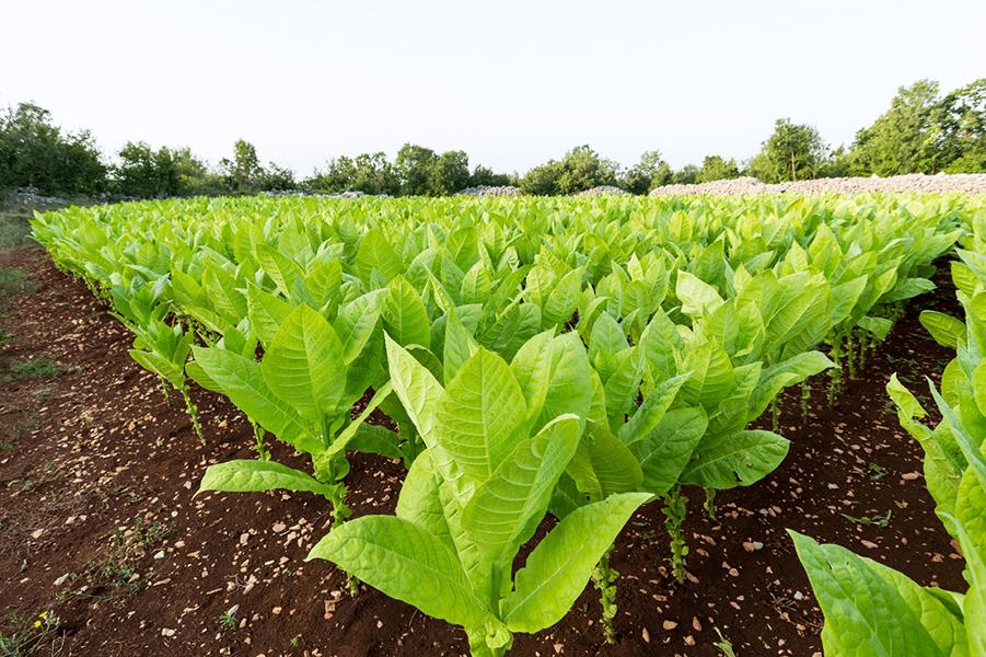 مزرعه تنباکو